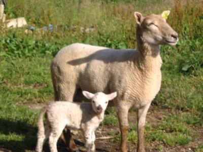 bichette-la-brebis-et-son-agneau-1.jpg